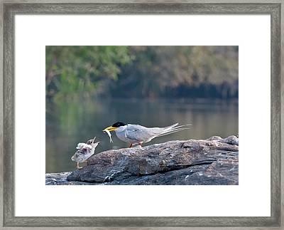 Indian River Tern Feeding Chick Framed Print by K Jayaram