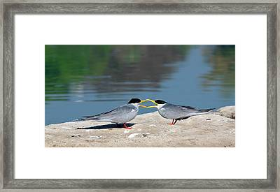Indian River Terns Greeting Framed Print by K Jayaram