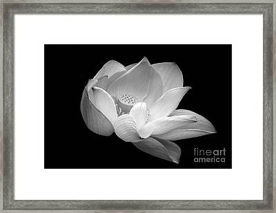 Indian Sacred Lotus In Black And White Framed Print