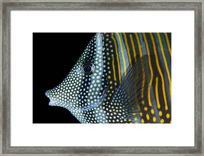Indian Sailfin Tang In The Maldives Framed Print by Science Photo Library