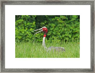 Indian Saras Crane At The Nest Framed Print