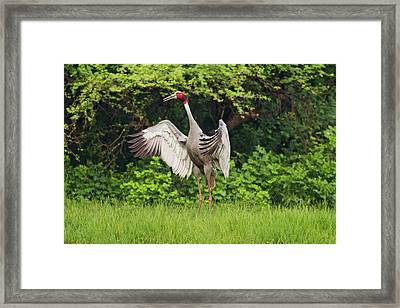 Indian Saras Crane, Flapping Wings Framed Print