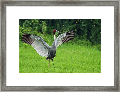 Indian Saras Crane, Stretching Wings Framed Print