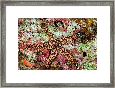 Indian Sea Star (fromia Indica Framed Print by Pete Oxford