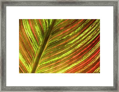 Indian Shot Plant Framed Print by Nigel Downer