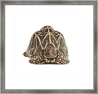 Indian Star Tortoise Framed Print