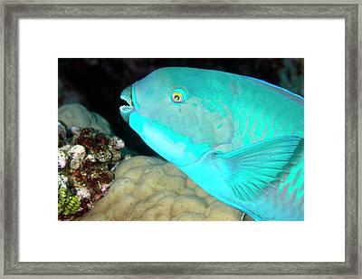Indian Steephead Parrotfish On A Reef Framed Print