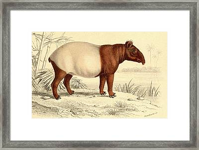 Indian Tapir Framed Print by Collection Abecasis