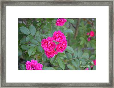 Indiana Roses Framed Print by Alys Caviness-Gober