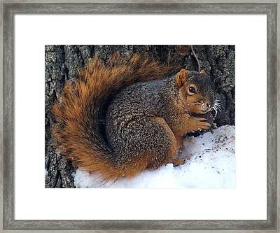 Indiana Squirrel In Winter With Nut Framed Print
