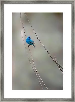 Indigo Bunting Framed Print