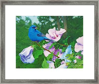 Indigo Bunting  Framed Print by Ken Everett