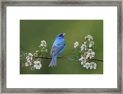 Indigo Bunting On Berry Blossoms Framed Print by Daniel Behm