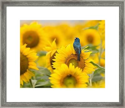 Indigo Bunting On Sunflower Framed Print