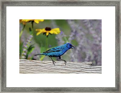 Indigo Bunting (passerina Cyanea Framed Print by Richard and Susan Day