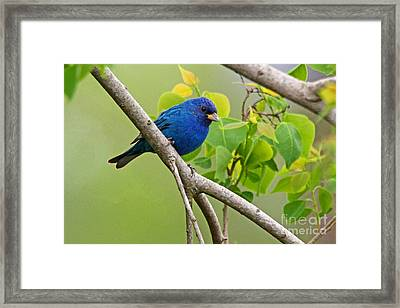 Blue Indigo Bunting Bird  Framed Print