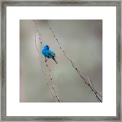 Indigo Bunting Square Framed Print by Bill Wakeley
