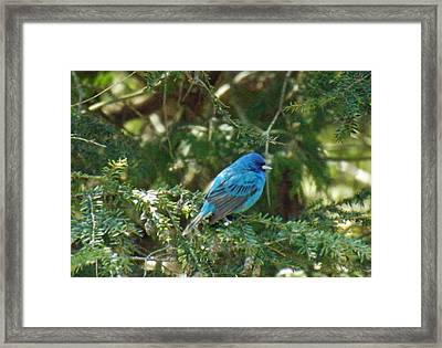 Indigo Bunting Visit Framed Print by Brenda Brown