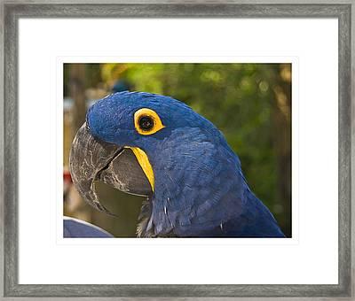 Indigo Macaw Framed Print
