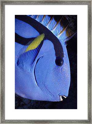 Indo-pacific Bluetang Framed Print