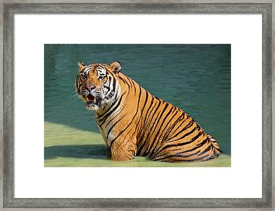 Indochinese Tiger Or Corbett's Tiger Framed Print by Peter Adams