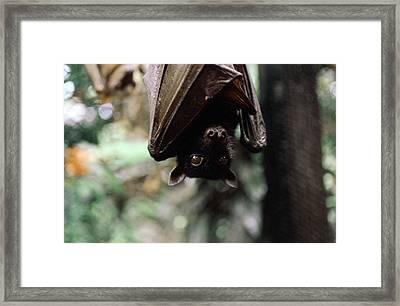 Indonesia, North Sulawesi, Fruit Bat Framed Print