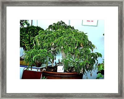 Indoor Bonsai Framed Print by Johnson Moya