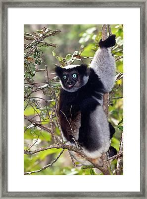 Indri Framed Print