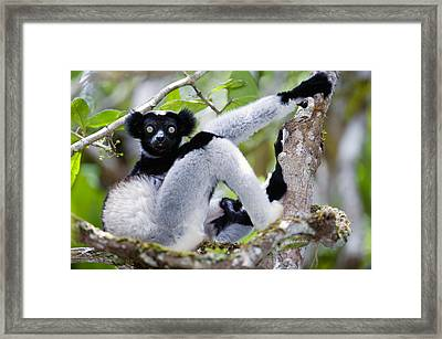 Indri Lemur Indri Indri Sitting Framed Print by Panoramic Images