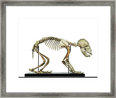 Infant Bear Skeleton Framed Print