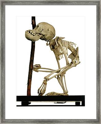 Infant Orangutan Skeleton Framed Print