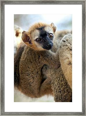 Infant Red-fronted Brown Lemur Framed Print by Alex Hyde
