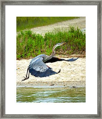 Inflight Great Blue Heron Framed Print by Sandi OReilly