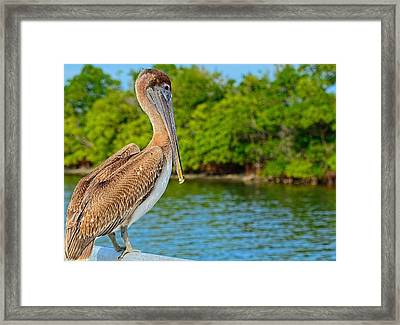 Injured Pelican Framed Print