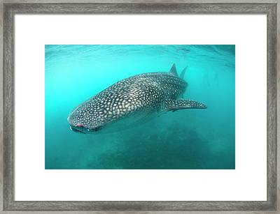 Injured Whale Shark Framed Print