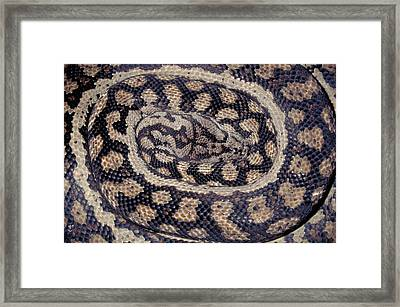 Inland Carpet Python  Framed Print by Karl H Switak
