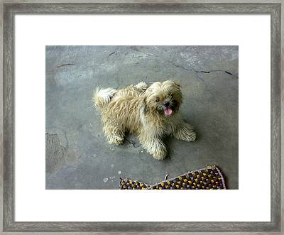 Innocent Shihtzu Dog Framed Print by Ariyanto Herika