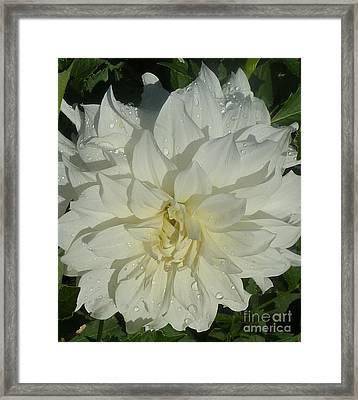 Framed Print featuring the photograph Innocent White Dahlia  by Susan Garren