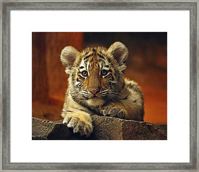 Inquisitive Cub Framed Print