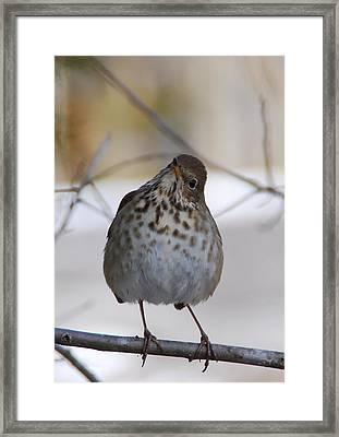 Framed Print featuring the photograph Inquisitive Hermit Thrush by Cascade Colors