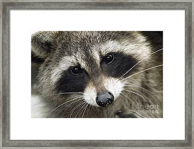 Inquisitive Raccoon Framed Print by Jane Axman