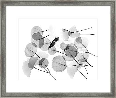 Insect And Plant Leaves Framed Print by Albert Koetsier X-ray