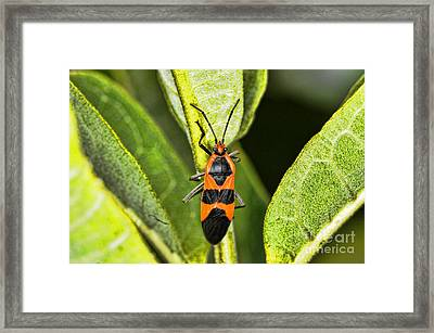 Insect - Milkweed Bug Framed Print by Paul Ward