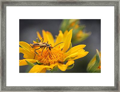 Insect On Cowpen Daisy Framed Print