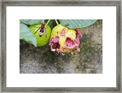Insects Eating Guava Framed Print by Image World