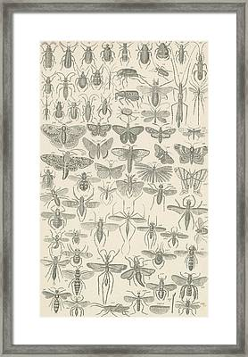 Insects Framed Print by English School