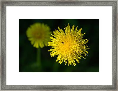 Insects On A Dandelion Flower - Featured 3 Framed Print by Alexander Senin
