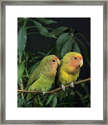 Inseparable A Face Rose Agapornis Framed Print