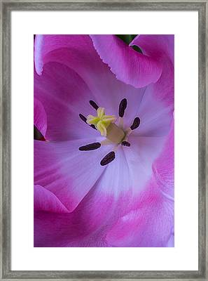 Inside The Pink Tulip Framed Print
