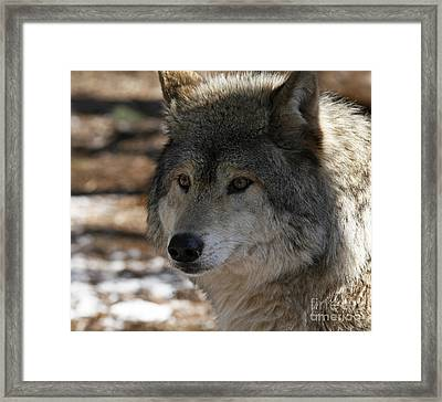 Inspired By Timber Wolf Framed Print by Inspired Nature Photography Fine Art Photography